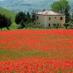 #Poppies #ig_italy #ig_exquisite #ahd_photo | Flickr - Photo Sharing!