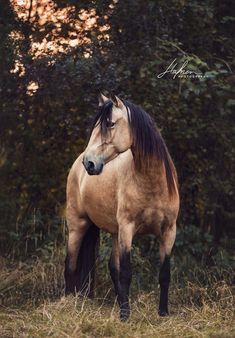 Lusitano-Stute in Wildlederfarbe - ~*~ Beautiful Horses ~*~ - Beautiful Horse Pictures, Most Beautiful Horses, Animals Beautiful, Cute Horse Pictures, Cute Horses, Pretty Horses, Horse Love, Cavalo Wallpaper, Horse Wallpaper