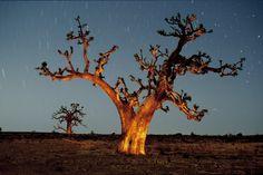 Baobabs Sénégal