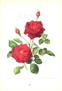 "Vintage French Wall Decor Red Rose Art, Botanical Flower Print ""Guinee"" No. Vintage Botanical Prints, Vintage Floral, French Vintage, Botanical Flowers, Botanical Art, Decoupage, Rose Decor, Rose Gift, Floral Illustrations"
