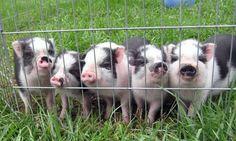 Adopt a Pig Mini Potbelly Pigs, Mini Pigs, Adopt A Pig, Baby Animals, Cute Animals, Miniature Pigs, Pot Belly Pigs, Pet Pigs, Baby Pigs
