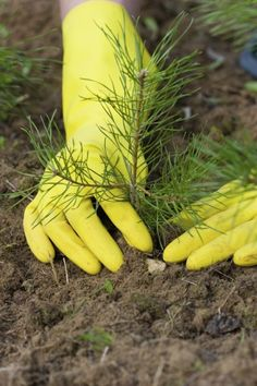 Planting A Pine Tree: Caring For Pine Trees In The Landscape. A short primer on the pine species available, and how to use them.
