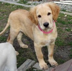 Tebow is an adoptable Golden Retriever Dog in Brick, NJ. *Per JSAC policy, puppies and kittens under 5 months will not be adopted to families with children under the age of 5 years....oh my gosh is he cute ? I am in love !