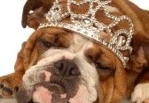 english bulldog wearing princess crown and silly expression stock photography