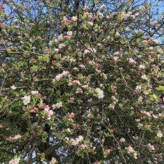 Apfelblüte im Ibbenbürener Land. Draussenzeit genießen💚