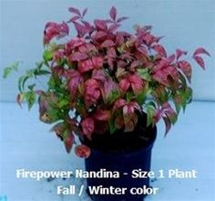 Dwarf Firepower Nandina- also comes in a large shrub size too!