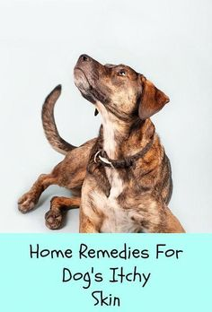 Natural Home Remedies Itch relief home remedies for dogs, including oatmeal baths, essential oils and homeopathy. - Easy to use dog itch relief home remedies. Oatmeal Bath For Dogs, Stop Dog Itching, Doterra, Dog Itchy Skin Remedy, Itching Remedies, Essential Oils Dogs, Coconut Oil For Dogs, Itch Relief, Oils For Dogs