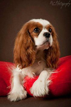 Beautiful Blenheim Cavalier King Charles Spaniel