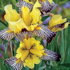 Golden Zebra Iris: Iris 'Golden Zebra' [Family: Iridaceae] - From Breck's