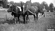 Simon Gauthier 25 juin, à 10:13 Boeuf et cheval, Saint-Augustin - 1940.