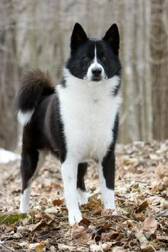 Karelian Bear Dog Not for pets, generally. Rare Dogs, Rare Dog Breeds, Cute Dogs Breeds, Big Dogs, I Love Dogs, Dogs And Puppies, Doggies, Laika Dog, Bear Dog Breed