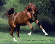chestnut horse playing in field Horse Photos, Horse Pictures, Most Beautiful Animals, Beautiful Horses, Types Of Horses, Chestnut Horse, Andalusian Horse, Arabian Horses, Akhal Teke