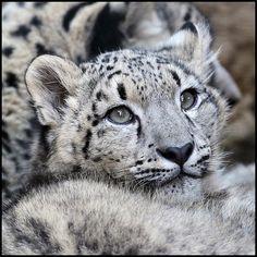 Sky the snow leopard - Steve Tracy Photography