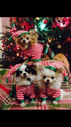 Christmas Chihuahuas! ♥
