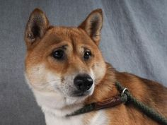 Petango.com – Meet Yoshi, a 2 years 5 months Shiba Inu available for adoption in COLORADO SPRINGS, CO.  Interested in meeting Yoshi? Call (719) 445-6787 to speak to an adoption representative at National Mill Dog Rescue.