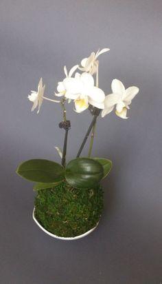Kokedama mini Orchidej Phalaenopsis Kokedama mini orchidej Phalaenopsis Potřebuje světlé místo. Zálivka cca 1 za týden, vložíte do misky s odstátou vodou a necháte nasáknout přibližně 20minut. Do vody je možné přidat tekuté hnojivo. Krásná dekorace do vašeho interiéru. Kokedamu může buď zavěsit, nebo ji nechat na misce. Velmi originální.