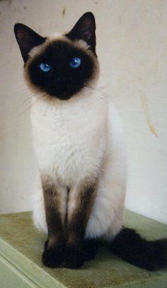 Siamese Cat Forbidden Food