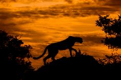 In this photo by Arturo De Frias, we see a Cheetah (Acinonyx juvatus) silhouetted against a fiery sunset in the Oakavango Delta, Botswana.