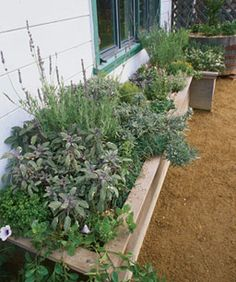 Herb box à la Provençal includes sages (dwarf, purple, tricolor), sweet lavender (L. heterophylla), French lavender (L. dentata), thymes (French, lime, silver), sweet marjoram, winter savory, oregano, and rosemaries 'Golden Rain' and 'Blue Boy'