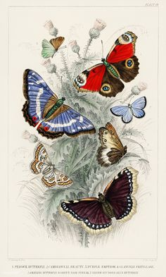 Peacock Butterfly, Camberwall Beauty, Purple Emperor, Glanville Fritillary, Grayling Butterfly, Green Hair Streak, and Silver Studded Blue Butterfly from A history of the earth and animated nature (1820) by Oliver Goldsmith (1730-1774). Digitally enhanced from our own original edition. | free image by rawpixel.com