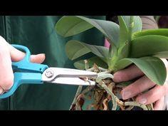 Pflegeanleitung: Orchideen - Rückschnitt, Wurzelschnitt, Wässern, Düngen - YouTube