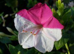 Four O'clock Flower: Mirabilis jalapa; by Salvatore Ingala