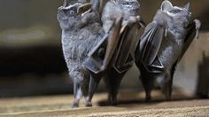 There are 1331 known bat species. Fifteen new species were discovered in 2014. It looks like their dancing!