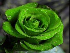 N.º 4: VERDE O Verde é a cor da Natureza, da força equilibrada e do progresso mental e físico. O Raio Cromático Verde é o raio da harmonia. As pessoas influenciadas por este raio tendem a ser tranquilas, do tipo que só perdem as estribeiras depois de serem muito provocadas, já que prezam, acima de tudo, a paz.