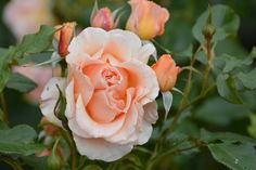 St Anne's Rose Festival - July 2015 St Anne's Park Photo by Joanna Travers St Anne, Dublin City, Parks, 18th, Rose, Flowers, Summer, Image, Pink