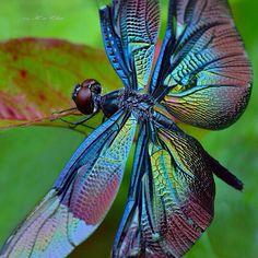 """""""Caraballo"""", libélula azul ¡que hermosa!"""