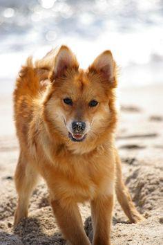 Finnish Spitz Dog - Doglers  Finnish Spitz Lab Mix