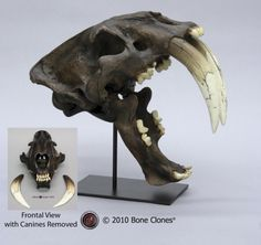 Sabertooth Cat Skull, Deluxe Smilodon fatalis, Tarpit Finish (Replica) $295