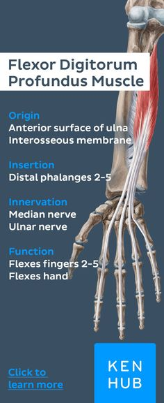 Flexors of the forearm: Anatomy study course Forearm Anatomy, Wrist Anatomy, Yoga Anatomy, Hand Therapy, Massage Therapy, Physical Therapy, Musculoskeletal System, Medical Anatomy, Human Anatomy And Physiology