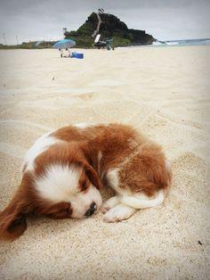 Cavalier King Charles Spaniel at the beach