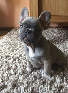 So precious, Blue French Bulldog Puppy. I want one when I can afford one called Mojito