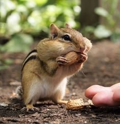 Hope you don't mind another Chipmunk photo! Cute Funny Animals, Cute Baby Animals, Animals And Pets, Animal Paintings, Animal Drawings, Cute Squirrel, Squirrels, Baby Chipmunk, Lovely Creatures