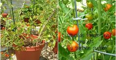 Cómo cultivar unos tomates de escándalo en maceta