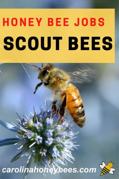 Honeybee perform a variety of different bee jobs over the course of their lives.  One very important task is the job of scout bee.  Learn why they are so vital to hive life.   #carolinahoneybees #scoutbees #beejobs