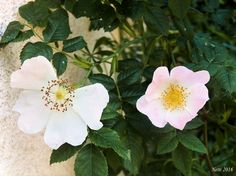 Heckenrose Blüten