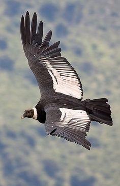 El Cóndor de los Andes. Male condor. (Vultur gryphus) como todos los buitres: carroñero. SB In The Tree, Birds Of Prey, Colorful Birds, Fauna, Spirit Animal, Birds In Flight, Bald Eagle, Cool Pictures, Wildlife