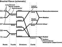PeriopDoc.ca - Brachial Plexus