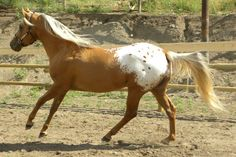 """He's an Appaloosa stallion of a different color named """"3 Winds Smok N Hawk""""…his color is Dark Gold Palomino…with a blanket…"""