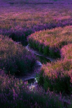 Fields of Purple, Portland, Oregon, by Terence Leezy, on 500px.(Trimming)