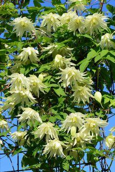 Lemon Dream Clematis - a lovely shade tolerant clematis. Clematis Flower, Clematis Vine, Beautiful Flowers Garden, Exotic Flowers, Landscaping Plants, Garden Plants, Part Shade Plants, Climbing Vines, Flowering Vines
