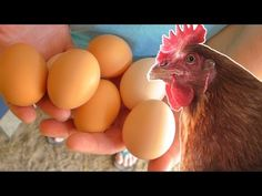 What to feed your chickens so they lay eggs year round. - YouTube very clean water, unmedicated laying mash 24 hours a day, oats in the summer and whole corn in the winter starting in Oct.