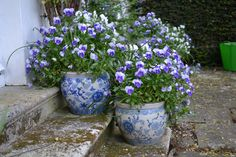 Violas in blue & whi
