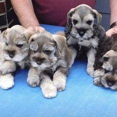 Schnauzer Breed, Standard Schnauzer, Miniature Schnauzer Puppies, Cute Dogs And Puppies, Baby Dogs, Rottweiler Puppies, Shih Tzu Dog, Dog Pin, Bernese Mountain