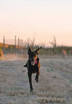 """How to get your dog to come to you – quickly! – whenever you give the """"rocket recall"""" cue. Rocket Recall - Whole Dog Journal Article"""