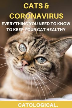 """As a cat owner during the COVID-19 global pandemic, you might have wondered... """"Can my cat contract coronavirus?""""  """"Can my cat give ME coronavirus?""""  """"Should I be worried?"""" Here's all you need to know! #catcare #catfacts #cathealth #catblog #catlovers Information About Cats, Dog Test, New Hospital, Health Organizations, Animal Antics, Cat Facts, Cat Health, Cute Baby Animals, Need To Know"""