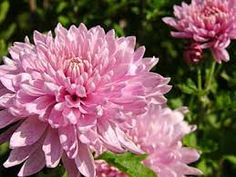Resultado de imagem para flor, áster, cores